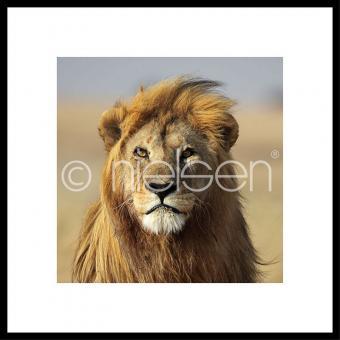 "Gerahmtes Bild ""Lion"" mit Alurahmen C2"