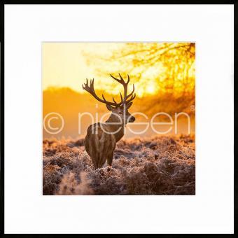 """Gerahmtes Bild """"Cervine Sunset"""" mit Alurahmen C2"""