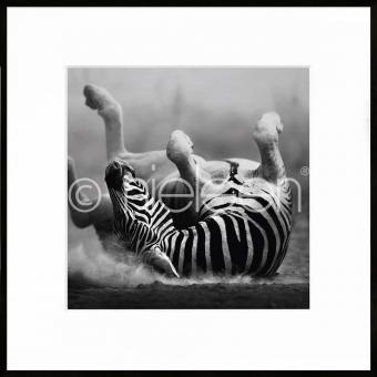 "Gerahmte Kunst ""Zebra lying"" mit Alurahmen C2"